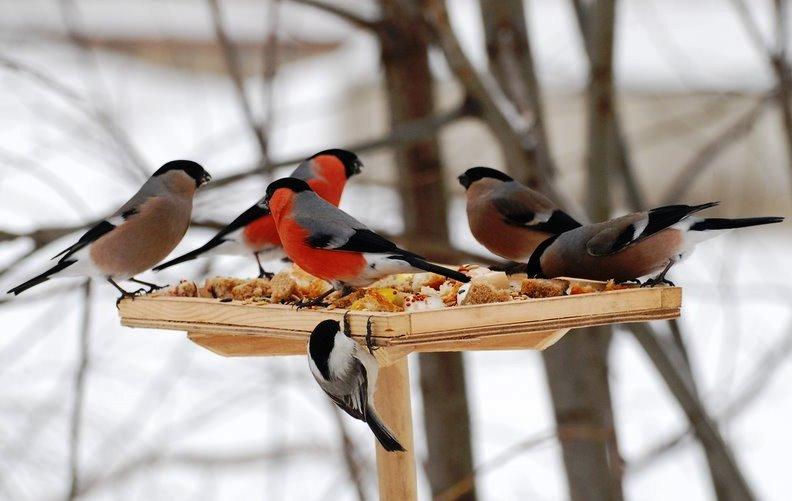кормление птиц зимой