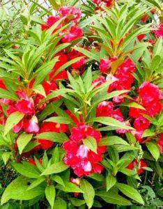 хна растение