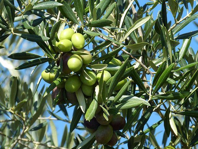 Изменение климата влияет на урожай оливок