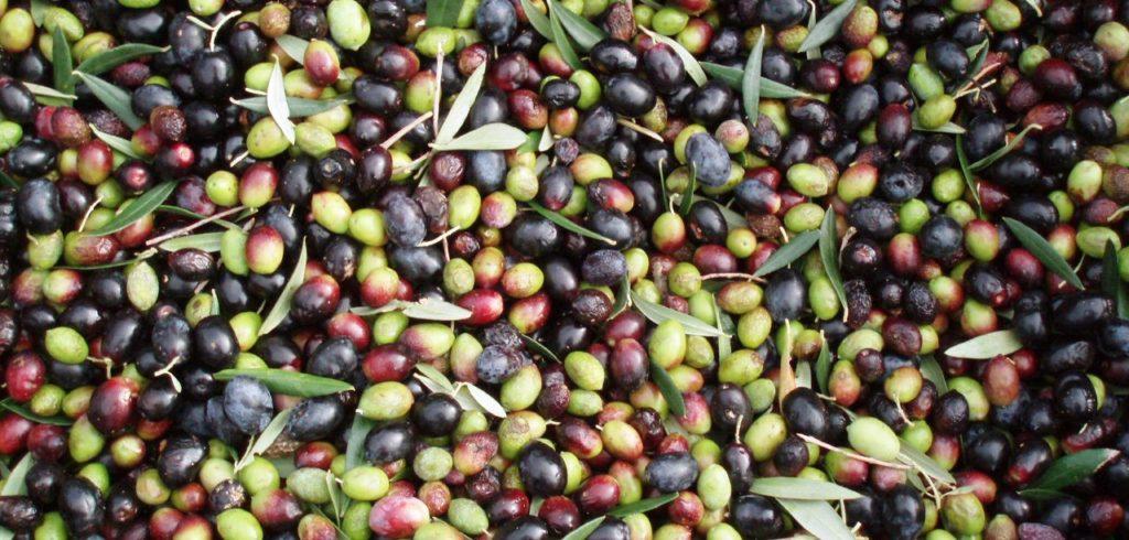 влияние климата на урожай оливок
