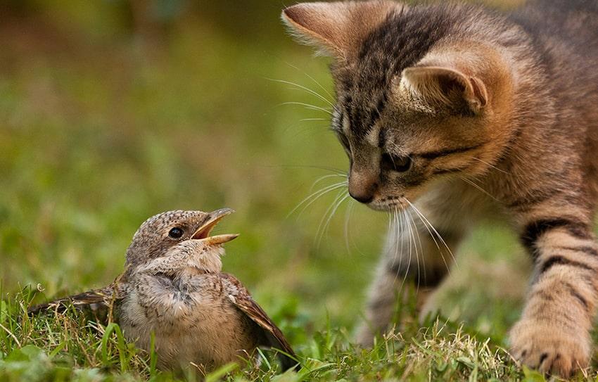 домашняя кошка охотится на птицу